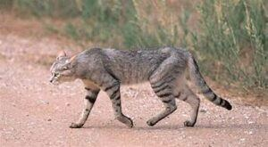 African Wildcat, grey & black, long legs & body
