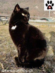 Black cat; white chest spot, sitting