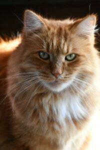 Orange cat named Little Yellow