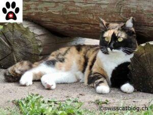 Calico cat, lying down