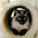 Siamese in carpeted tube