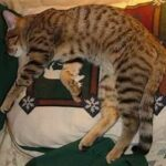 cat sleeping across a pillow