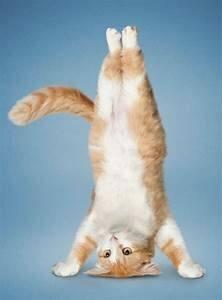 cat standing on head