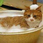 Cat in basin getting bath