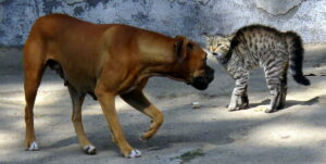cat hunched, yowling at dog