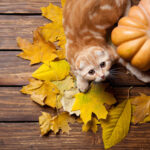 kitten playing with pumpkin & colored leaves