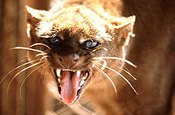 snarling feral cat