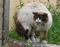Fuzzy cat, white with brown tail & head, puffed up
