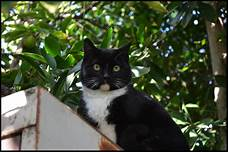 Tuxedo cat sitting outside on high perch