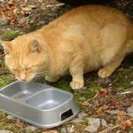 Orange cat eating from food dish, outside