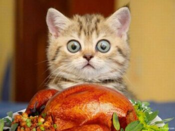 little cat looking over cooked turkey; eyes are huge