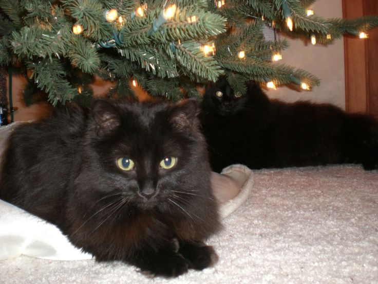 two black cats under Christmas tree