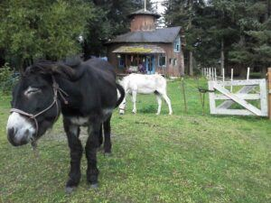 2 donkeys in yard