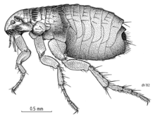 Detailed drawing of a cat flea