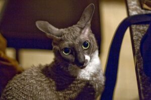 Grey and white cornish rex cat