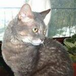 Grey German Rex cat