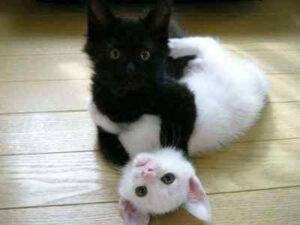 black kitten and white kitten, wrestling