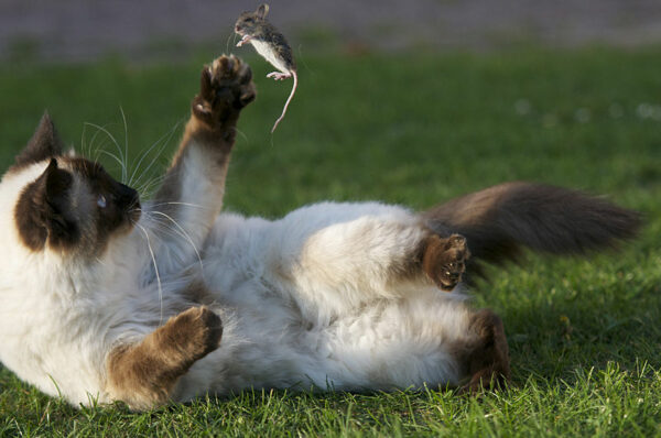 Siamese cat tossing mouse