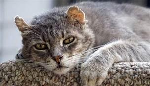 Old grey cat