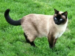 Siamese cat standing in grass