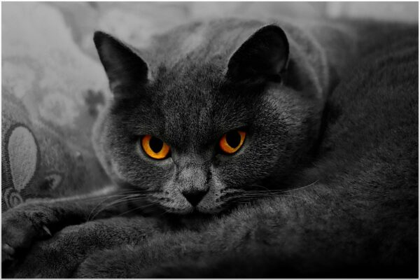 large grey (Russian Blue) cat