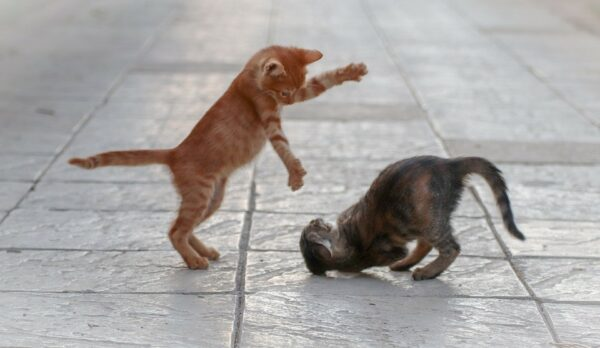 two kittens mock fighting