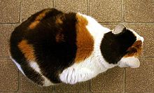 A fat calico hunkering