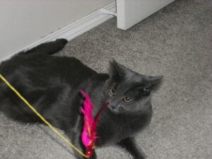 grey cat with feather wand