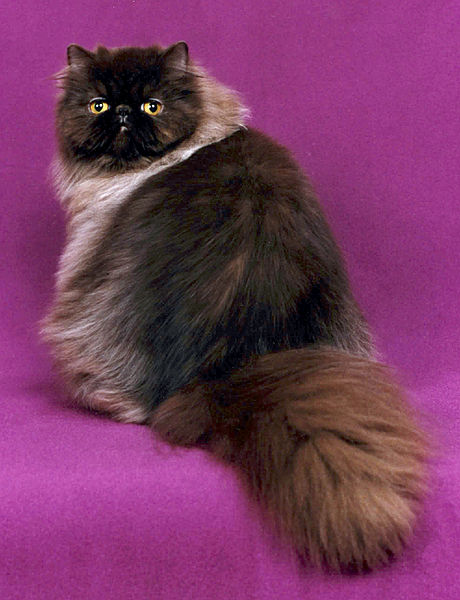 Chocolate Persian, sitting