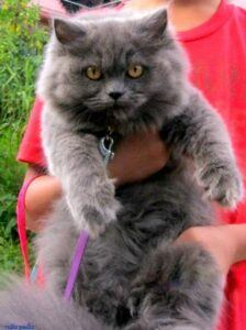 Blue Persian, held up by owner