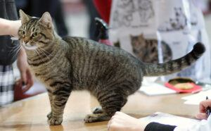 Grey and black tiger-striped shorthair