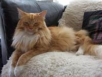 Orange Maine Coon, lying down