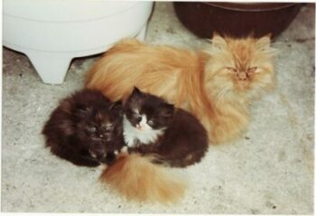 Persian mother cat; two kittens