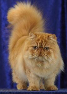 Red Persian, standing