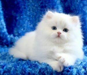 Young white Persian, lying down