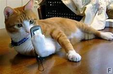 Orange cat lying down with cell phone