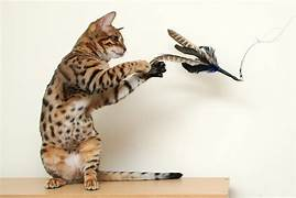 cat on hind legs catching feather