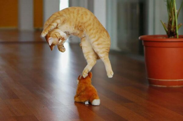 Orange cat jumping in air to attack toy