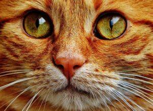 Face of orange cat