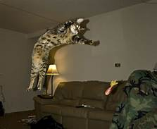 Cat in mid-air leap