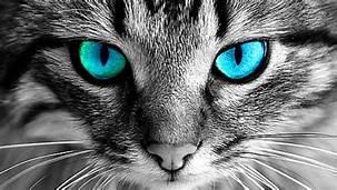Grey cat head; blue eyes