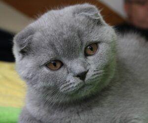 "Scottish fold ""blue"" cat"