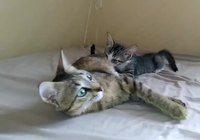 Cat lying down; kitten nursing