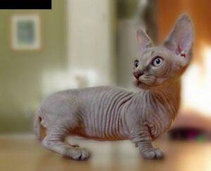 Grey Sphynx cat (hairless)