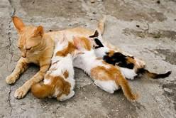Orange mother cat nursing 3 kittens