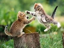 Two kittens mock fighting