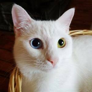White cat, one blue eye; one yellow