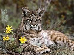 A bobcat lying down
