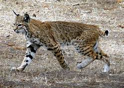 Bobcat walking; whole animal