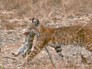 Bobcat carrying rabbit